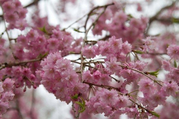 Mount_Yoshino_Pink_Sakura_Japan