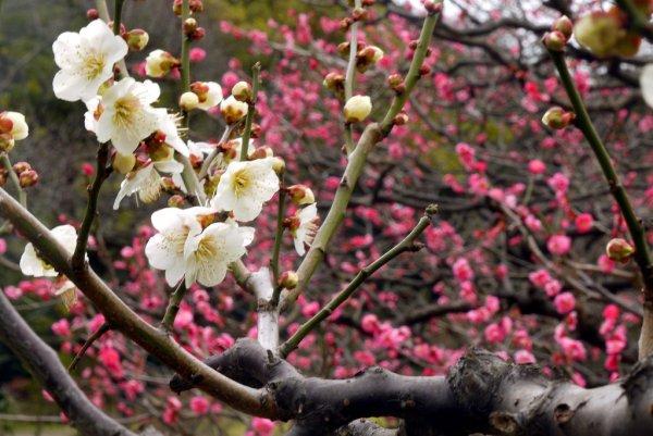 Plum_Blossoms_at_Hamarikyu_Garden_Tokyo