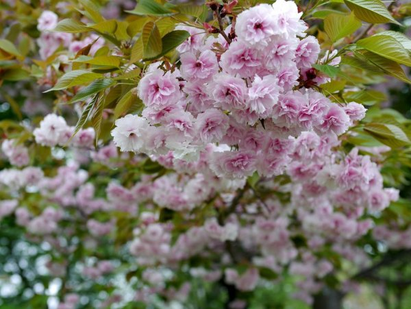 Cherry_Blossom_Fugenzo_Japan