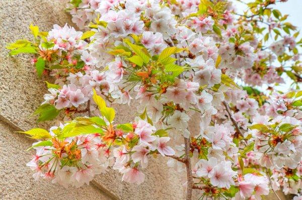 Cherry_Blossom_in_Nara_Prefecture_Japan