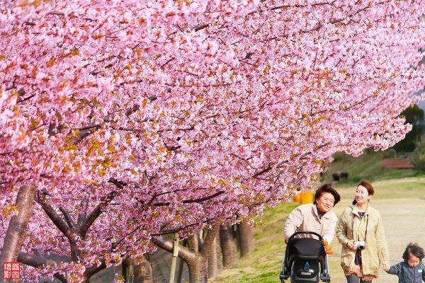 Kawazuzakura_Cherry_Blossom_in_Japan