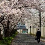 Osaka_Cherry_Blossoms_in_Spring