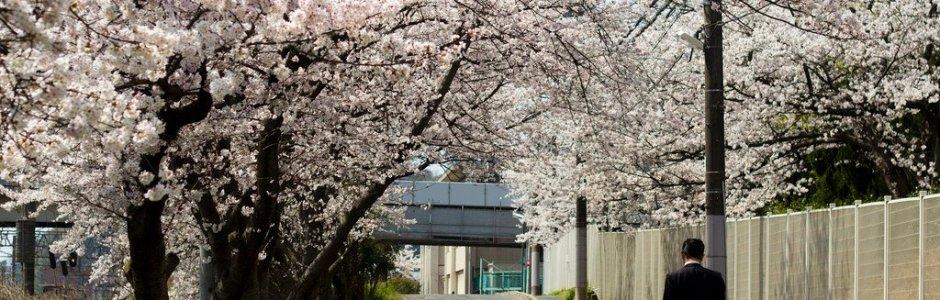Cherry Blossom (Sakura) and Hanami in Japan
