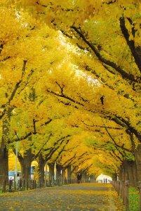icho_namiki_ginkgo_avenue_tokyo