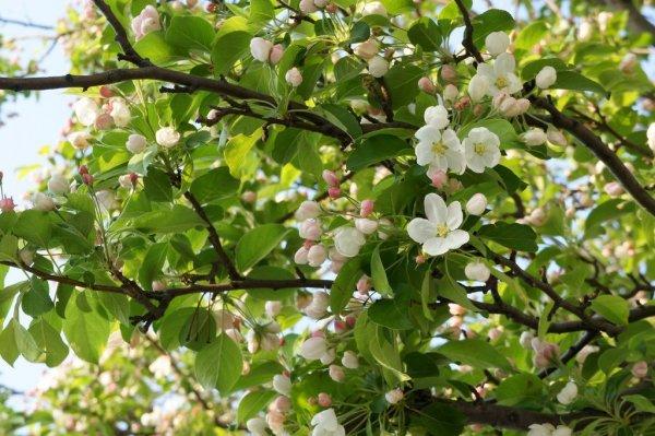 apple_blossoms_aomori