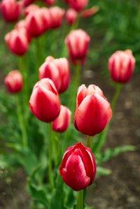 beautiful_tulips_kamiyubetsu_tulip_park_hokkaido