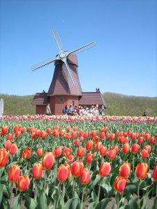 dutch_windmill_and_colorful_tulips_kamiyubetsu
