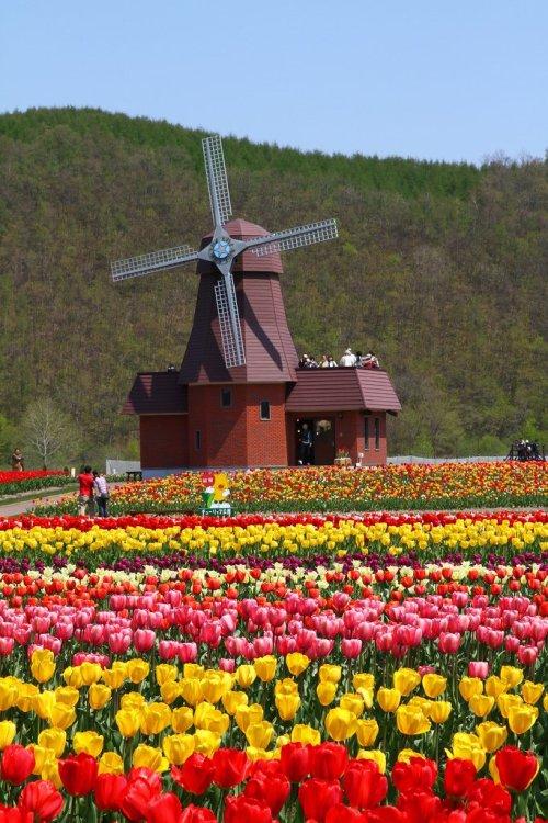 kamiyubetsu_tulip_park_and_the_windmill_hokkaido