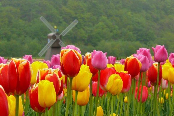 kamiyubetsu_tulip_park_hokkaido_japan