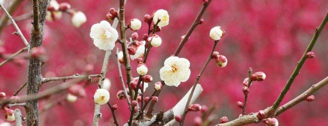 Atami Baien Ume Matsuri | Visit Shizuoka