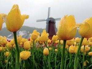 yellow_tulips_kamiyubetsu_tulip_park