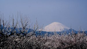 plum_blossoms_and_mount_fuji_soga_bairin_odawara
