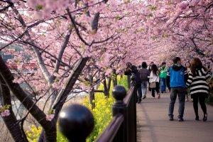 cherry_blossom_festival_in_kawazu