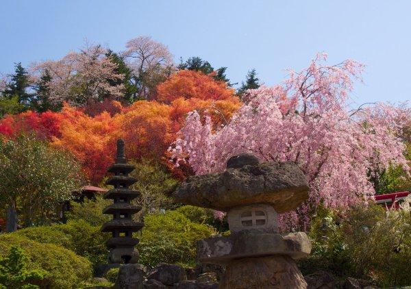 hanamiyama_park_cherry_blossoms_in_fukushima