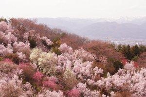hanamiyama_park_sakura_in_fukushiima