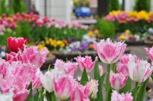 huis_ten_bosch_tulips_nagasaki_japan