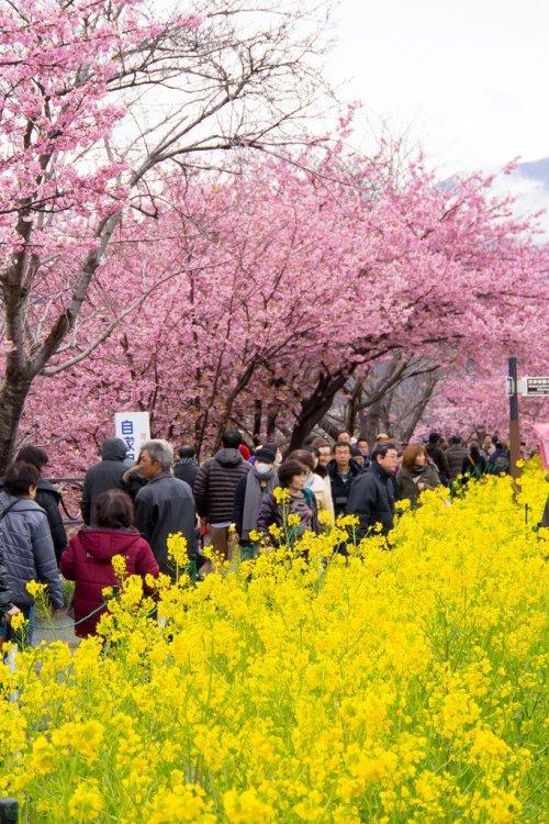 kawazuzakura_and_rape_blossoms