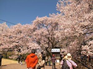 takato_caslte_cherry_blossom_festival_nagano