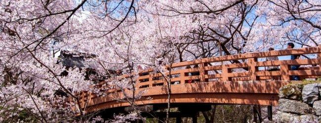 Takato Castle Ruins Park Cherry Blossom Festival 2017
