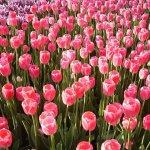 tonami_tulip_fair_japan