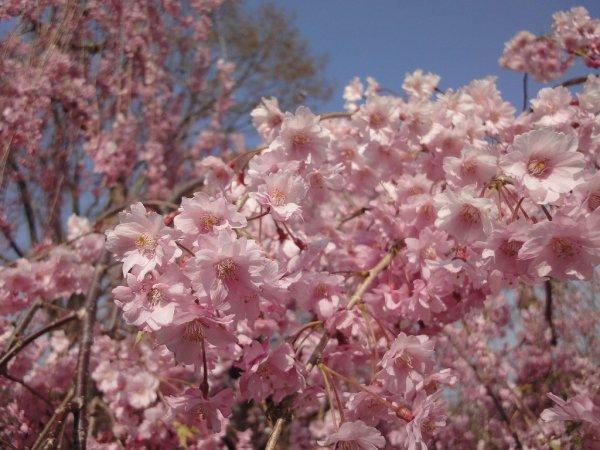 yaeshidarezakura_weeping_cherry_blossoms