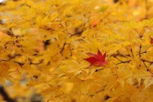 autumn_leaves_in_sapporo_hokkaido