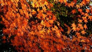 maple_leaves_osaka