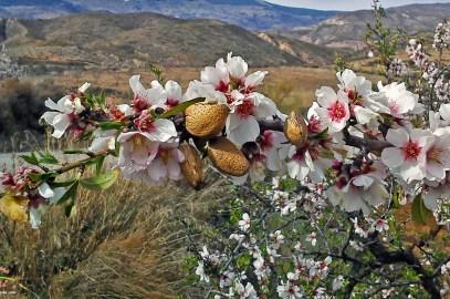 Floración de los almendros en La Alpujarra (Almería – Granada)
