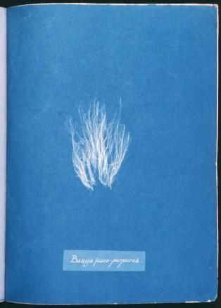 cyanotype-anna-atkins-algue-a14