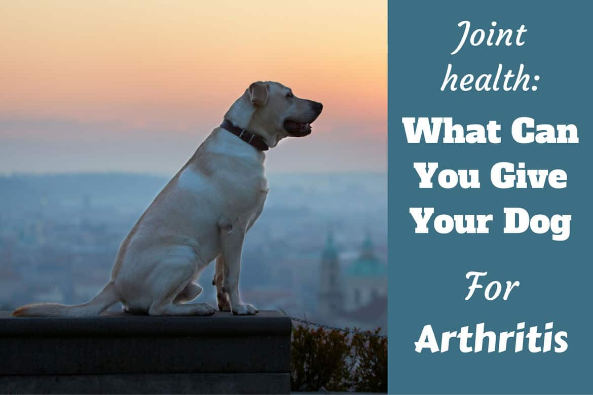 Impeccable A Yellow Labrador Joint What Can I Give My Dog Arthritis Written Beside A Aide View What Can I Give My Dog Can You Give Dogs Benadryl Cream Can You Give Dogs Benadryl To Sedate M bark post Can You Give Dogs Benadryl