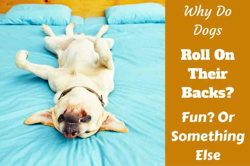 Large Of How To Teach Your Dog To Roll Over