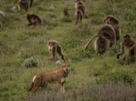 La historia se repite: lobos y babuinos se alían para cazar