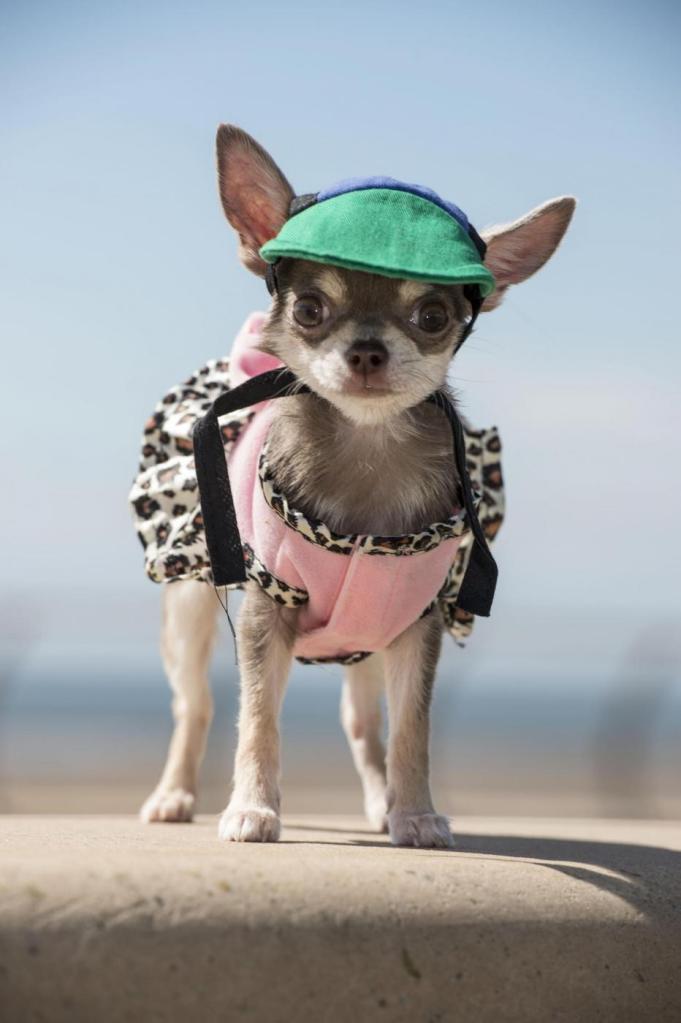 Bibity Bobity Boo è il cane più piccolo del mondo 7
