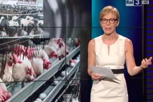 """Report - Amadori: """"Antibiotici e polli precari"""". Azienda replica"""
