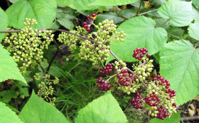 Indian Spikenard