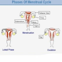 Four Phases Of Menstruation