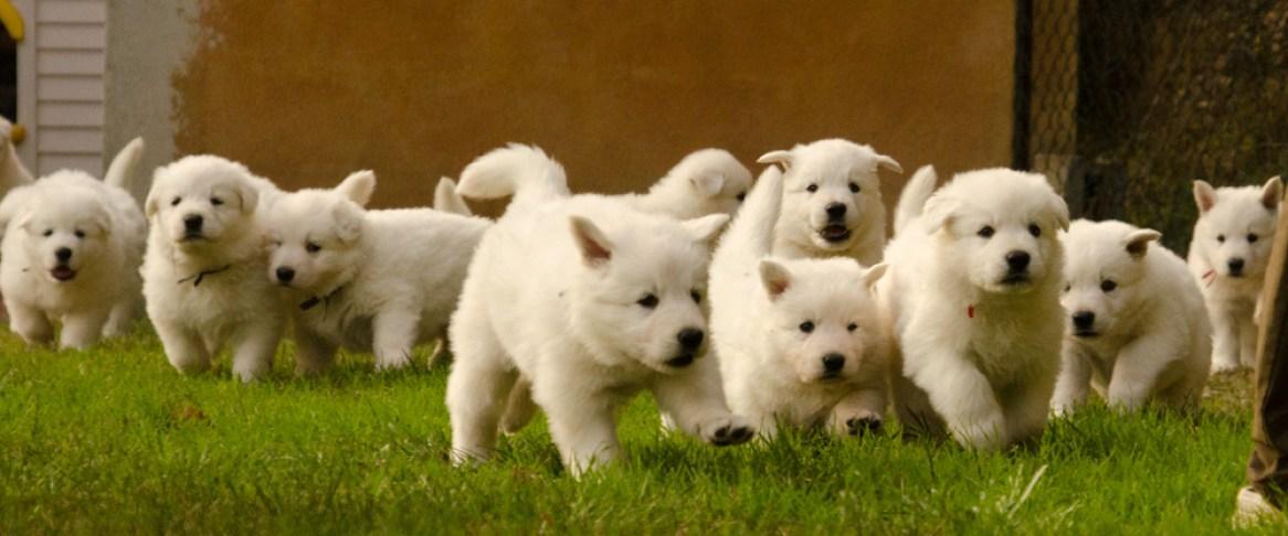 Cachorros de Fusta y Cresta entre 5 y 6 semanas.
