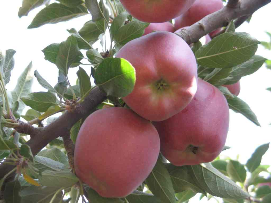 diversos ensayos en frutales y remolacha 2009 004