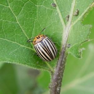 10 Metodos Para Combatir Escarabajo de la Patata