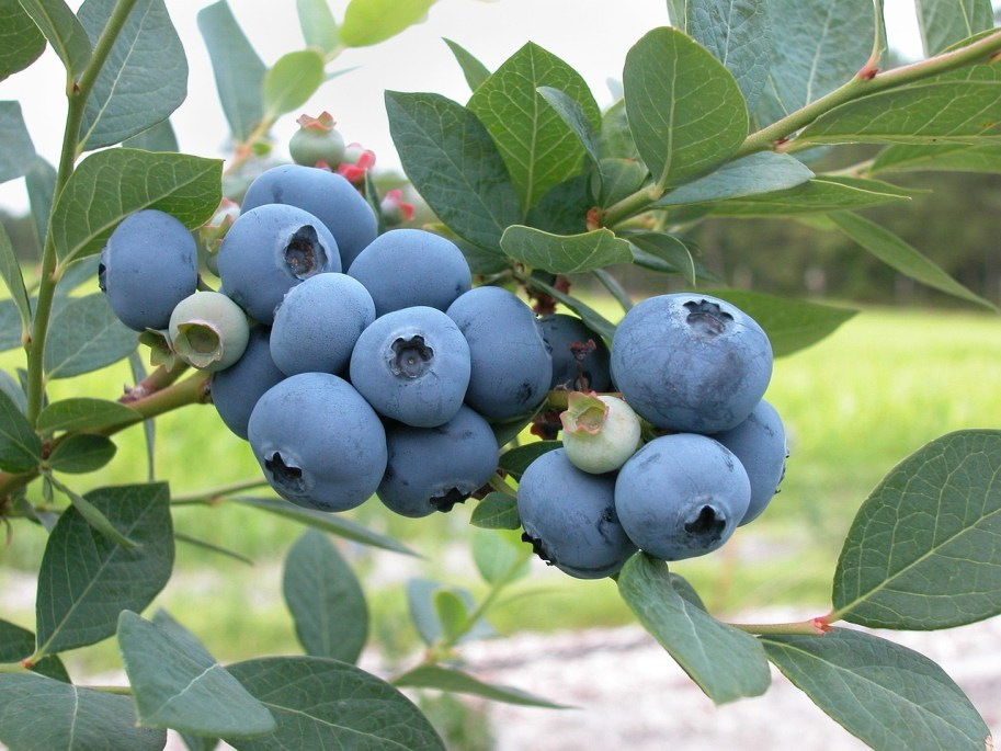 blueberries-1813420_1280