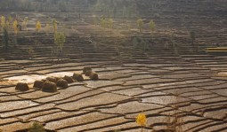 Golden rice terrace