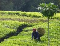 Picking-tea-Erik-NORDMAN-1024x682