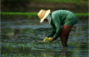 In the wake of the Paris Agreement, there is increased recognition of the need for mitigation in agriculture. But how much mitigation from agriculture is needed to limit climate change? Photo: IRRI