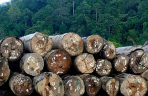Certified timber in logs pond , East Kalimantan, Indonesia. Photo by CIFOR.