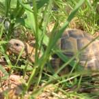 Griechische Landschildkröte geniesst Sonne