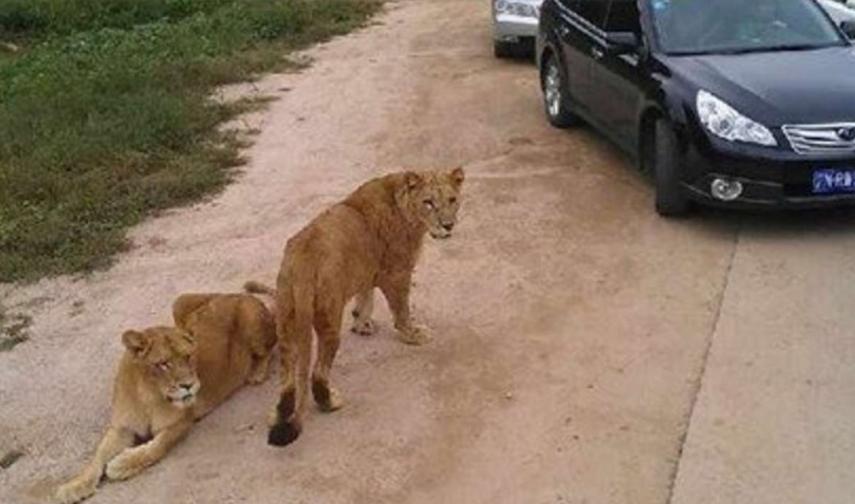 Tigre ataca a dos mujeres durante safari