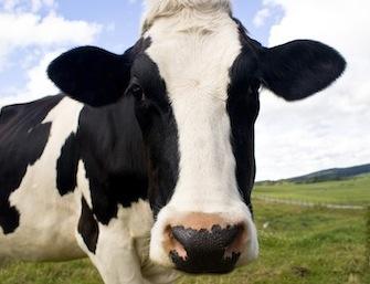 A inflamação do leite A1 é tremenda