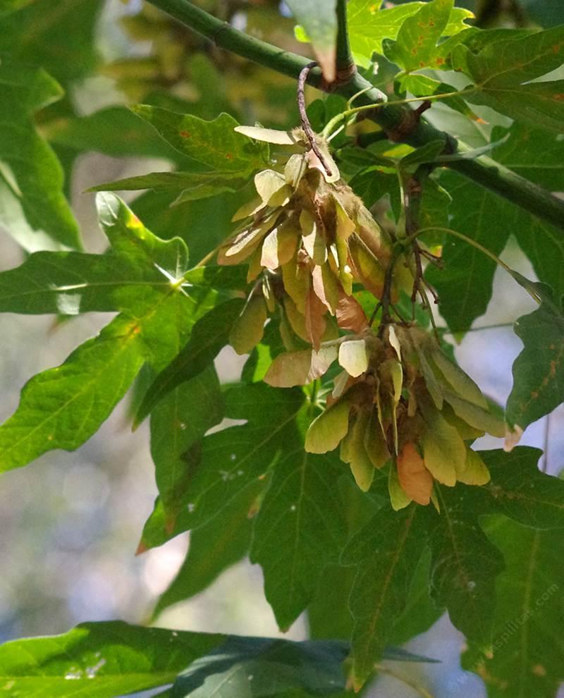 Fullsize Of Maple Tree Seeds