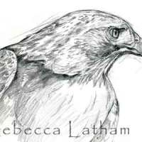 Redtail Hawk Sketch Completed