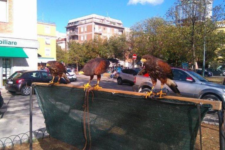 falchi-storni-latina-2017-3